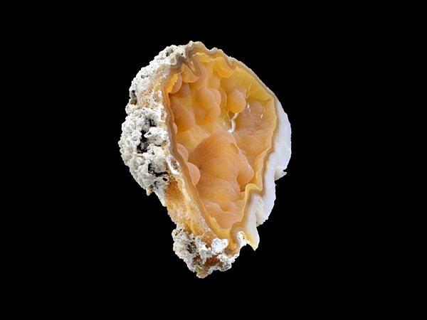 Fosilní korál, chalcedón - USA, Tampa Bay, Tampa, Florida